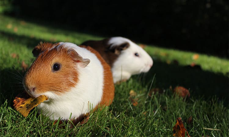 Can-Guinea-Pigs-See-Well-In-The-Dark