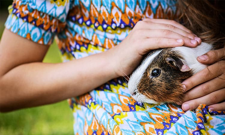 How-To-Know-If-Your-Guinea-Pig-Likes-You