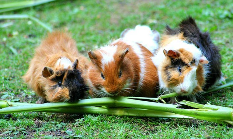 Is-It-Better-To-Get-A-Male-Or-Female-Guinea-Pig.1jpg