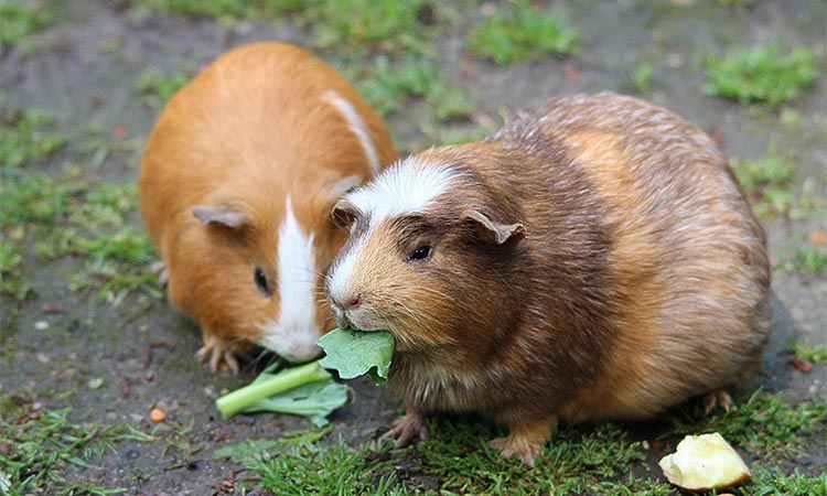 Is-It-Okay-To-Have-Only-One-Guinea-Pig