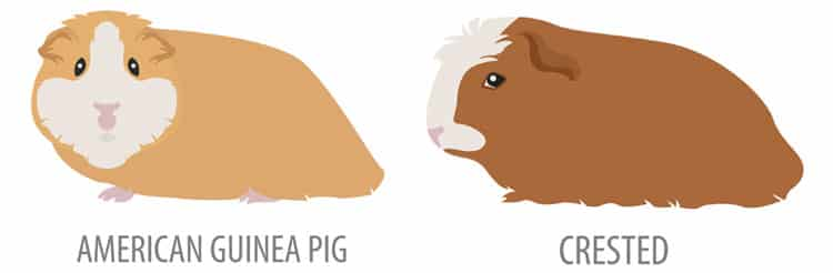 american-guinea-pig-and-crested-guinea-pig
