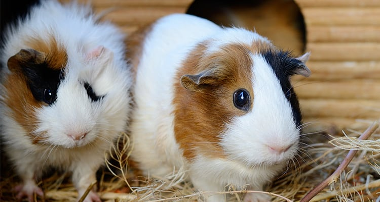 is-it-better-to-get-a-male-or-a-female-guinea-pig