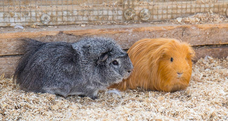 16-reasons-why-guinea-pigs-make-great-pets