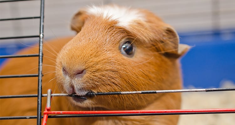 16-reasons-why-guinea-pigs-make-great-pets3