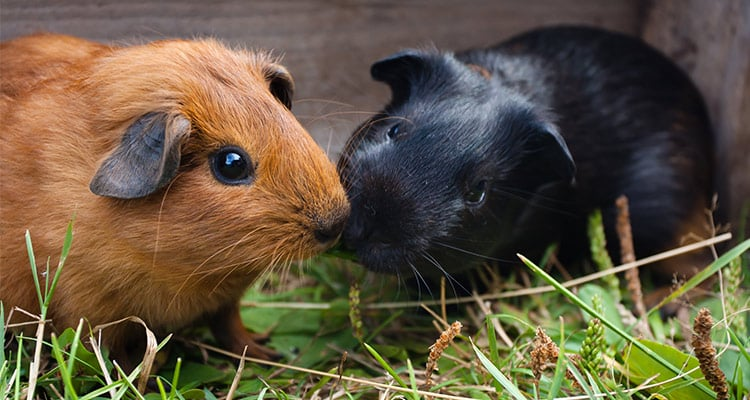 16-reasons-why-guinea-pigs-make-great-pets4