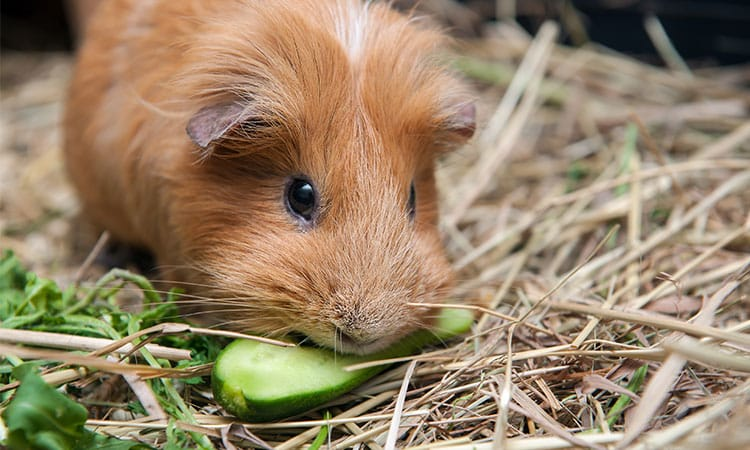 What-do-guinea-pigs-like-toys-food-petting