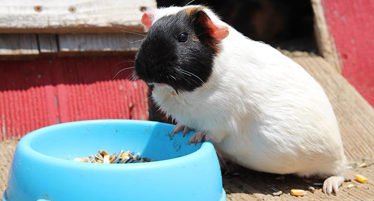foods-that-guinea-pigs-like