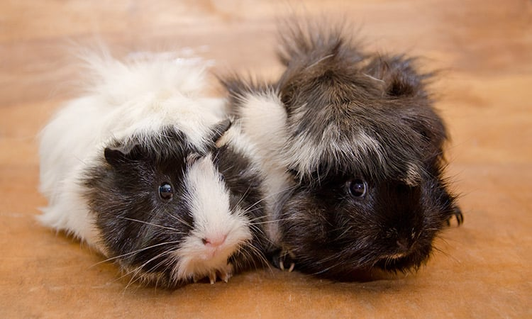 things-you-must-know-before-getting-a-guinea-pig