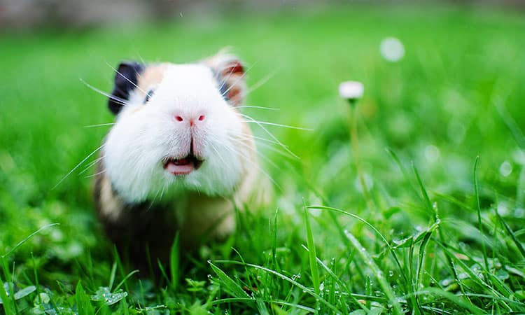 Can-you-keep-guinea-pigs-outside