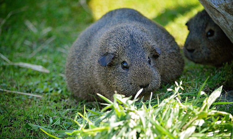 Guinea-Pig-Pregnancy-everything-you-need-to-know