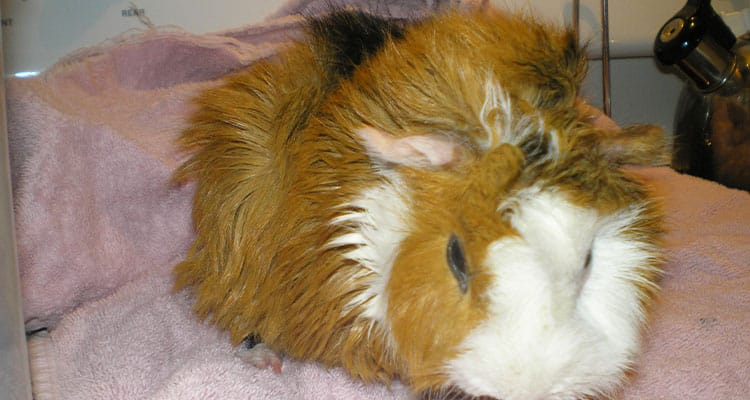 abyssian-guinea-pig