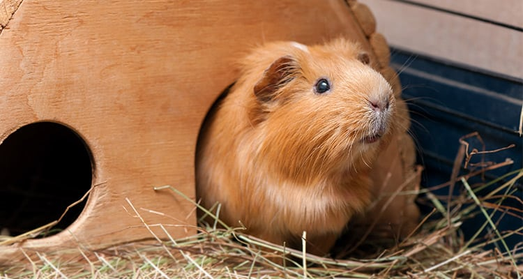 best-place-to-keep-a-guinea-pig-cage-and-location2