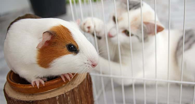 best-place-to-keep-a-guinea-pig-cage-and-location3