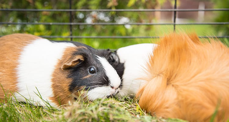 can-you-keep-your-guinea-pigs-outside-when-where-how-1