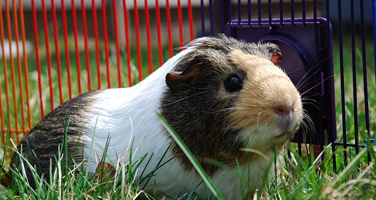 common-causes-of-guinea-pig-death2
