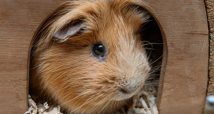 common-causes-of-guinea-pig-death4