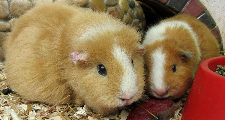 guinea-pig-pregnancy-everything-you-need-to-know2