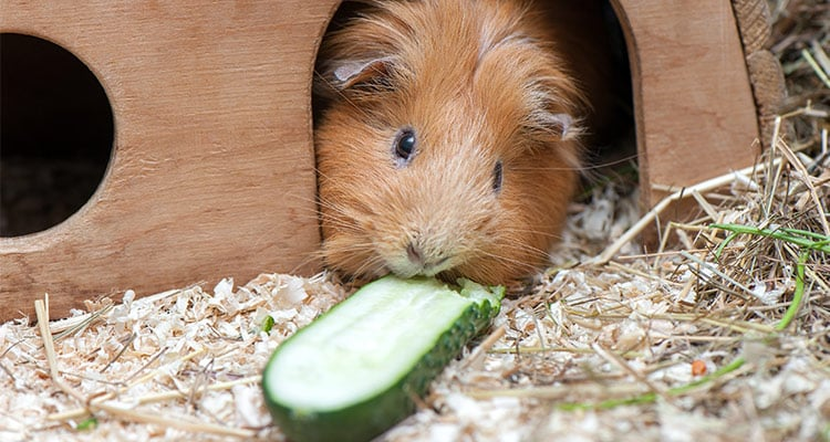 guinea-pig-pregnancy-everything-you-need-to-know4
