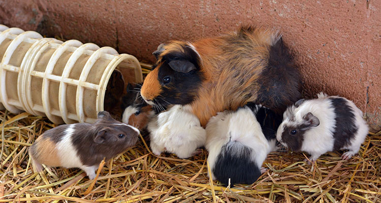 guinea-pig-pregnancy-everything-you-need-to-know5