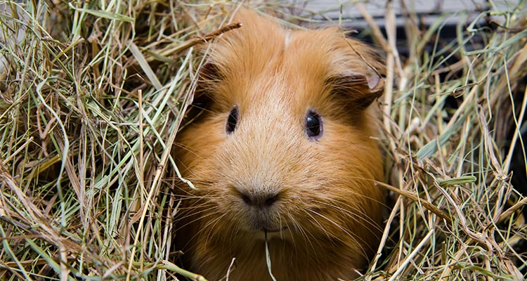 guinea-pig-sleep-everything-you-need-to-know2