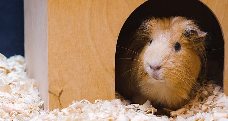 guinea-pig-sleep-everything-you-need-to-know3