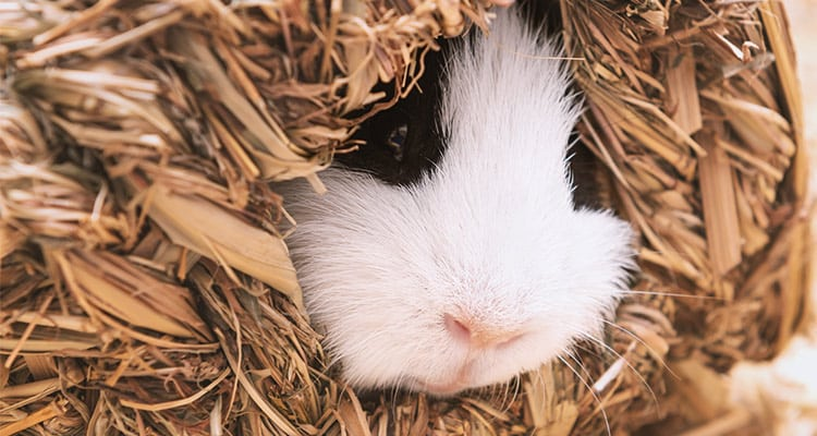 guinea-pig-sleep-everything-you-need-to-know4