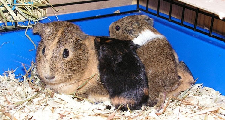 how-big-cage-for-guinea-pig