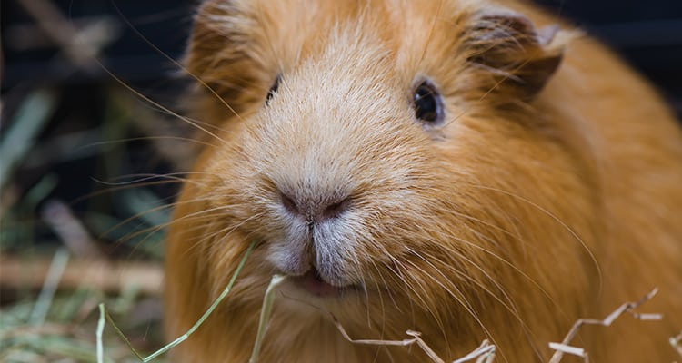 how-to-travel-with-a-guinea-pig2