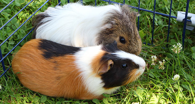 things-you-must-know-before-getting-a-guinea-pig6