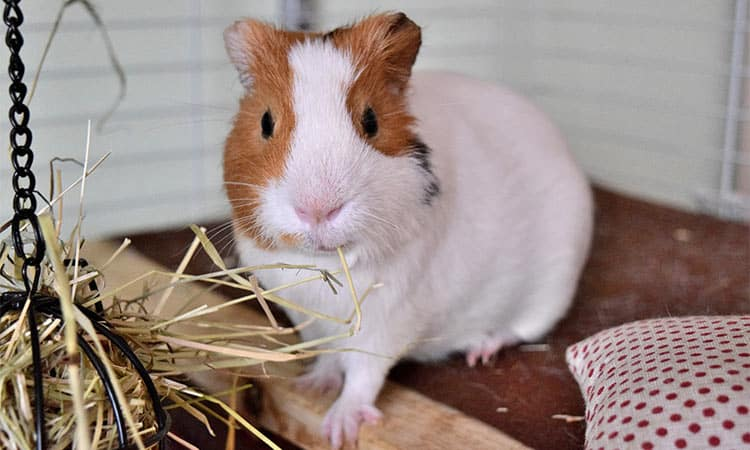 where-to-place-your-guinea-pigs