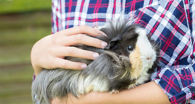guinea-pig-care-a-beginners-guide-6