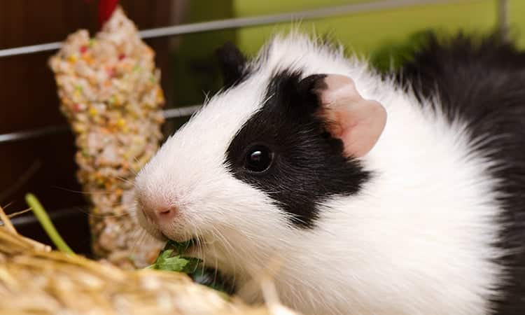 guinea-pig-care-a-beginners-guide