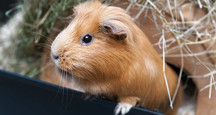 guinea-pig-care-a-beginners-guide1