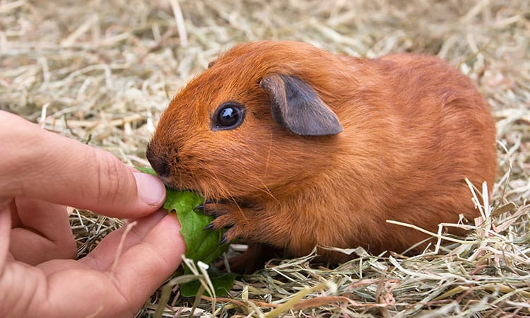what-and-when-to-feed-a-guinea-pig.jpg