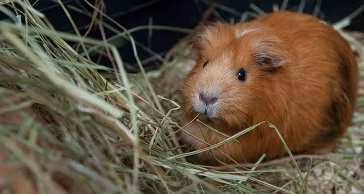 what-and-when-to-feed-a-guinea-pig1