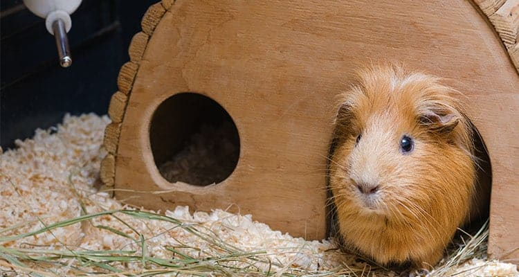what-and-when-to-feed-a-guinea-pig2