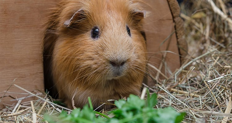 what-and-when-to-feed-a-guinea-pig3