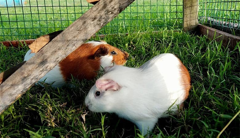 best-outdoor-guinea-pig-hutch