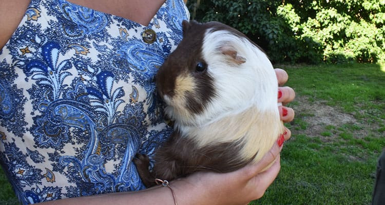 how-to-train-your-guinea-pig-tricks-and-behavior-4