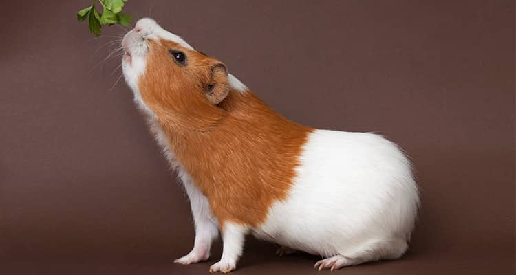 how-to-train-your-guinea-pig-tricks-and-behavior