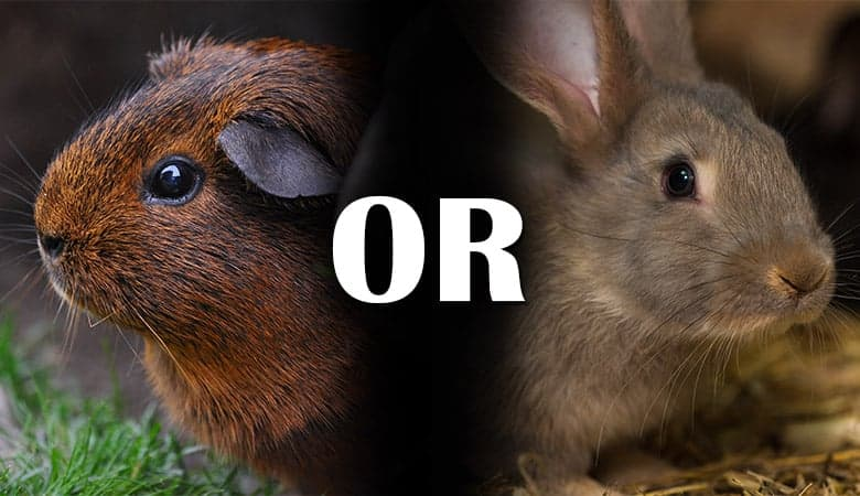Should-I-Get-a-Guinea-Pig-or-a-Rabbit