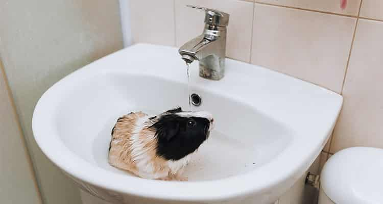 how-to-bathe-your-guinea-pig3
