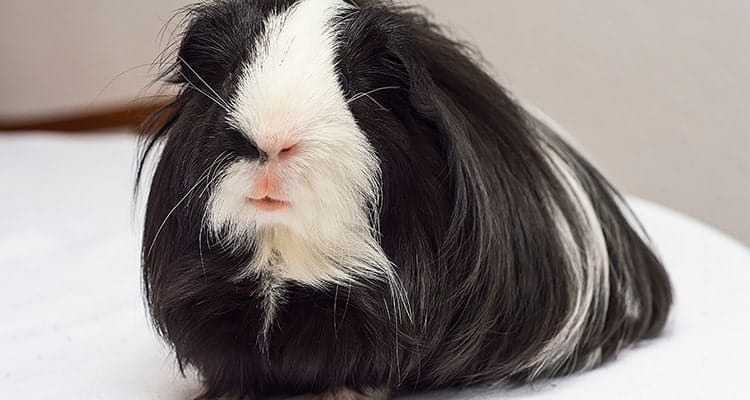 how-to-bathe-your-guinea-pig7