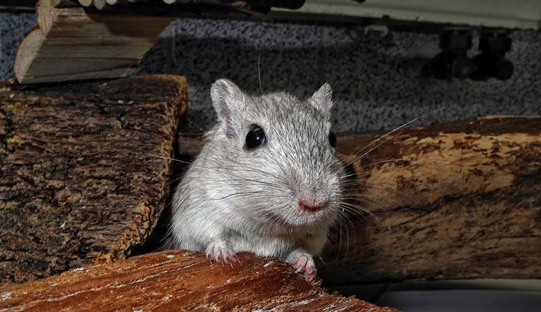 Can-a-gerbil-be-kept-alone