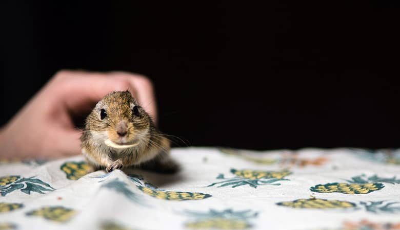 Do-gerbils-like-to-be-petted
