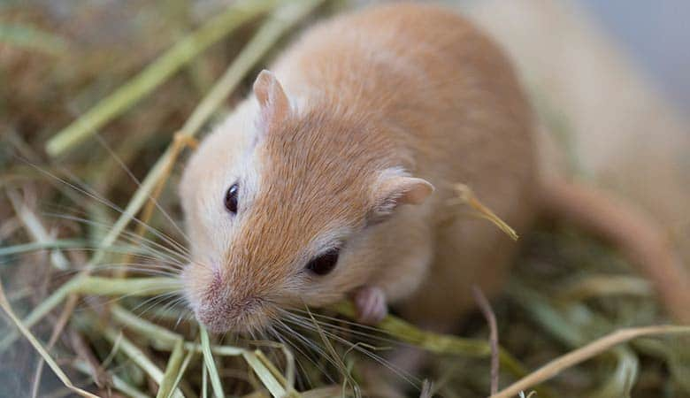 Do-gerbils-need-hay