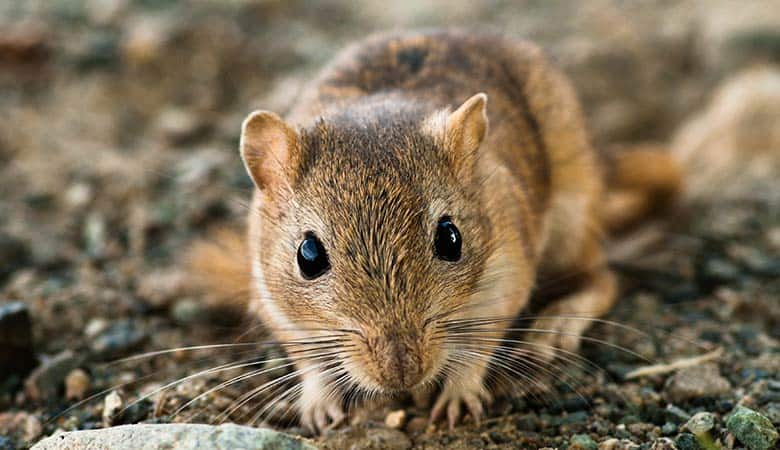 Gerbils-Recognize-Their-Owners
