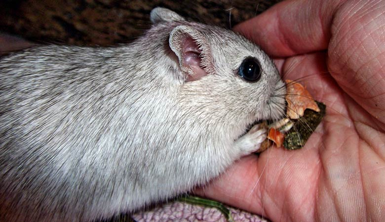 How-often-and-how-much-should-you-feed-a-gerbil