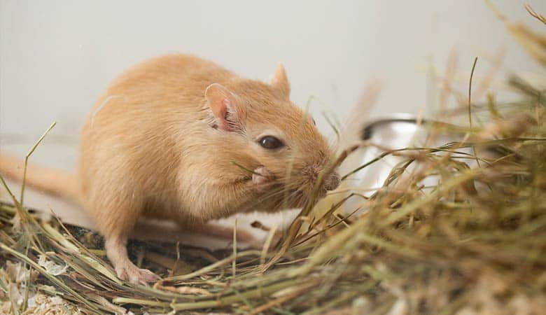 gerbil-sharpen-teeth-with-hay