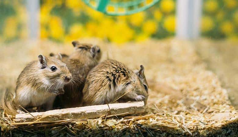 how-many-gerbils